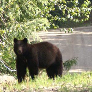 Jakt Canada Bjørn