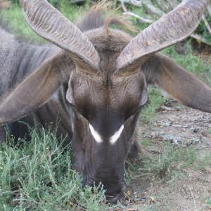 Jakt-Sør-Afrika-Kudu-nærbilde.jpg