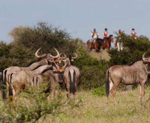 Rideferie-ridesafari-Botswana-Tuli Trail-gnu