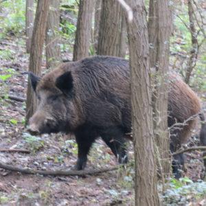 Jakt Ungarn Villsvin